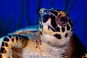Hawsksbill Turtle by Beth Watson 